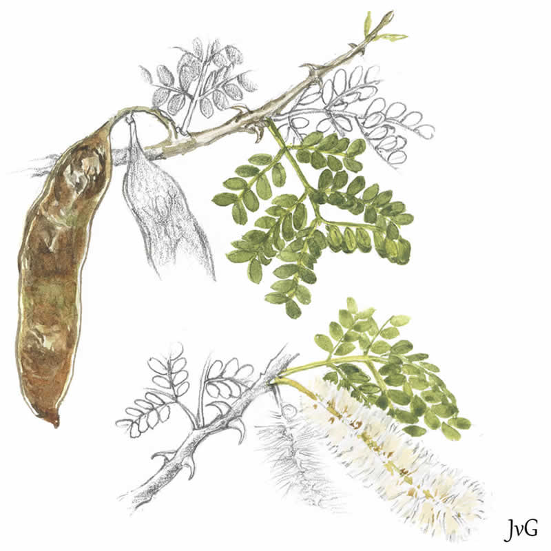Acacia=Senegalia welwitschii