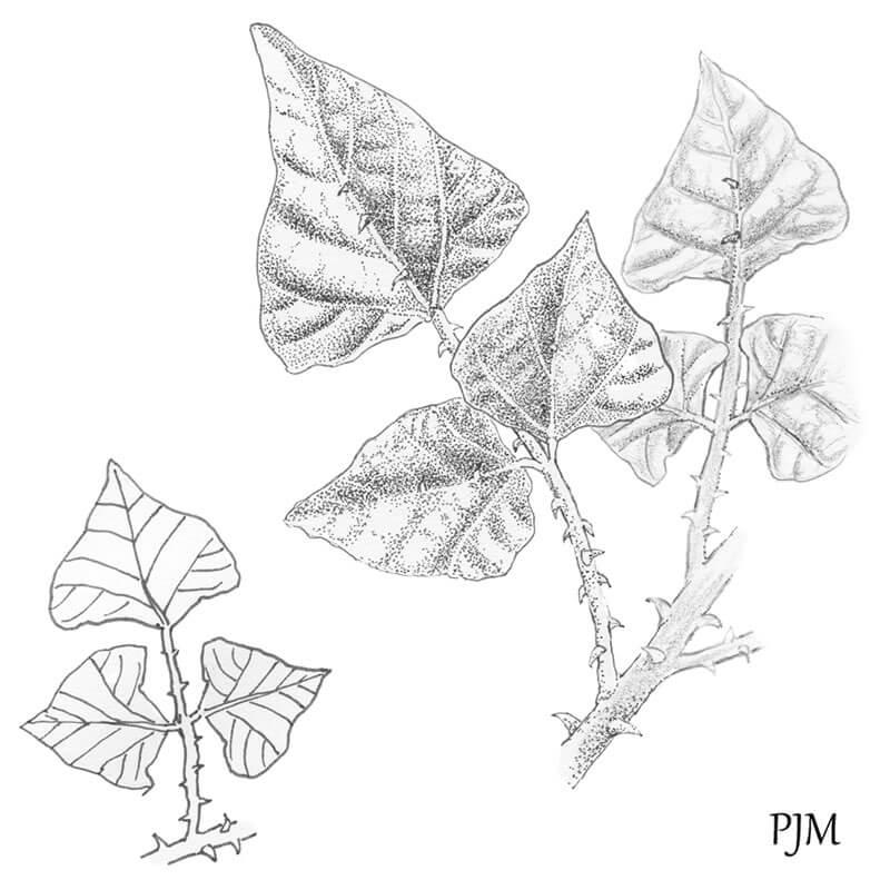 Erythrina lysistemon
