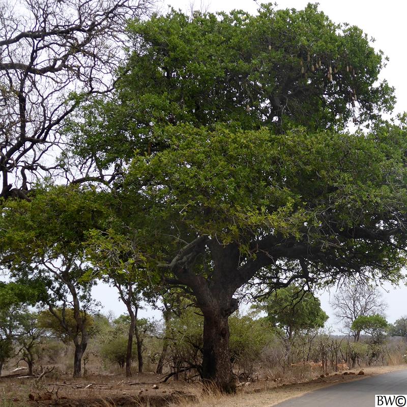 kigelia-africana